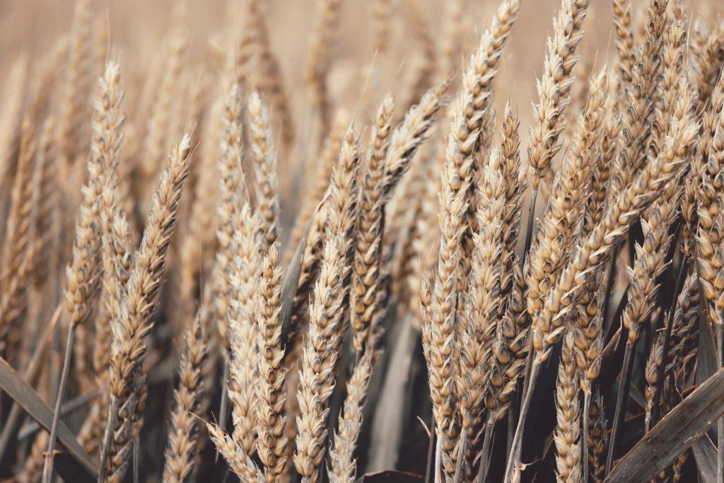 wheat-4278543_1920
